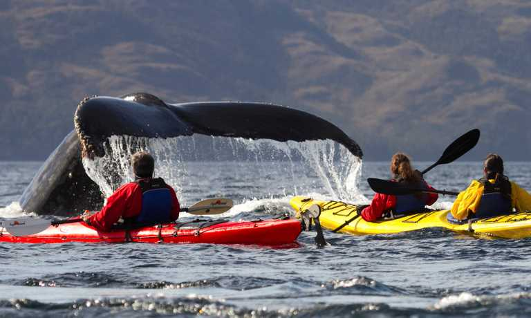 Kayak with Humpback Whales